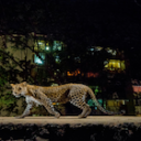 big cats in india